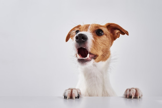 Jack russell terrier pies z łapami na stole