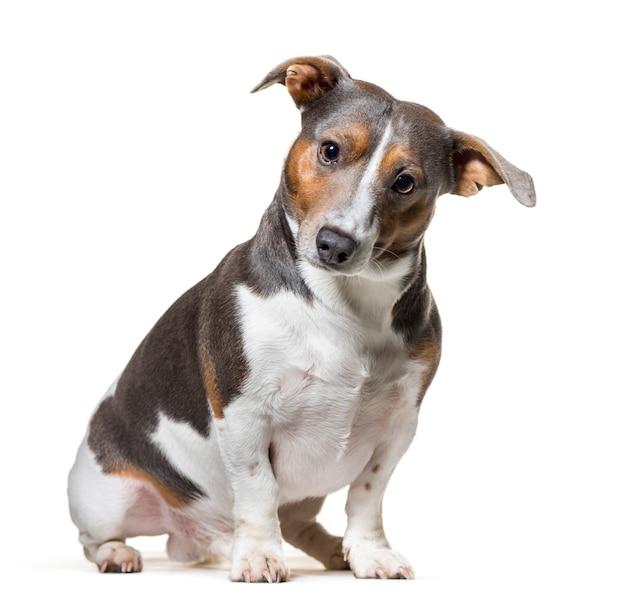Jack russell terrier siedzi na białym tle