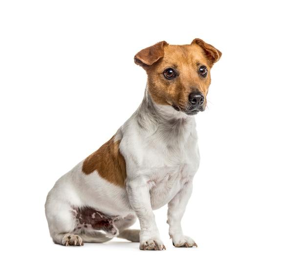 Jack russell terrier siedzi, na białym tle