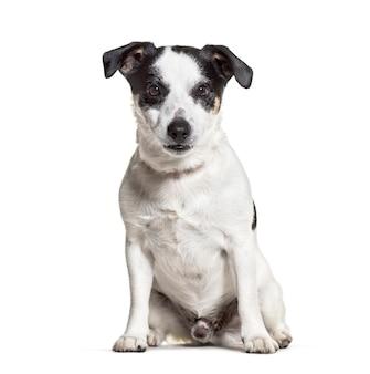 Jack russell terrier siedzi przed białym