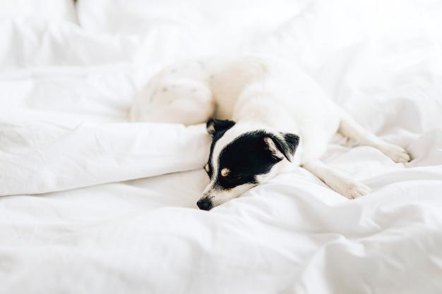 Jack russell terrier śpi na białym łóżku