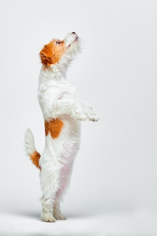Jack russell terrier stojący na tylnych łapach na białej powierzchni
