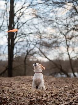 Jack russell terrier szczeniak łapie frisbee w lesie