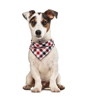 Jack russell terrier szczeniak z szalikiem w kratkę, na białym tle