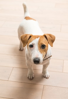 Jack russell terrier w domu