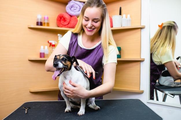 Jack russell terrier w salonie fryzjerskim.