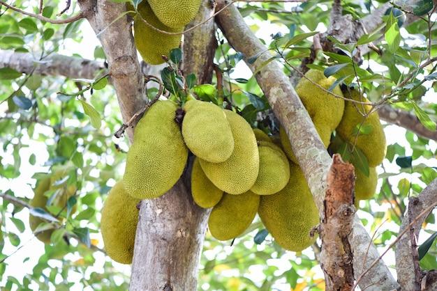Jackfruit na drzewach jackfruit zwisają latem z gałęzi w ogrodzie owoców tropikalnych