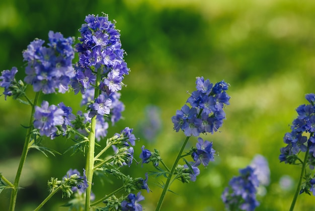 Jacobs ladder lub kwiaty charytatywne polemonium caeruleum kwitnące w ogrodzie