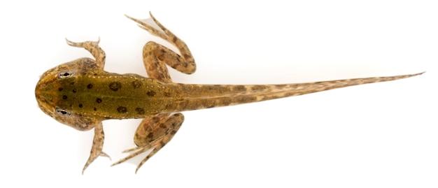 Jadalna żaba - Rana Esculenta, Odizolowywająca Na Bielu Premium Zdjęcia