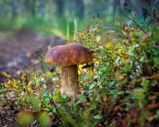 Jadalny borowik na leśnej polanie z bliska w świetle słonecznym z pięknym bokeh