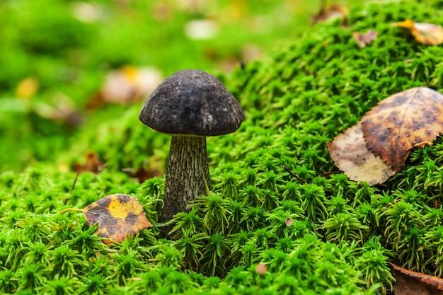 Jadalny mały grzyb z brązową czapką grosz kok leccinum w mchu jesienny las tło grzyb w t...