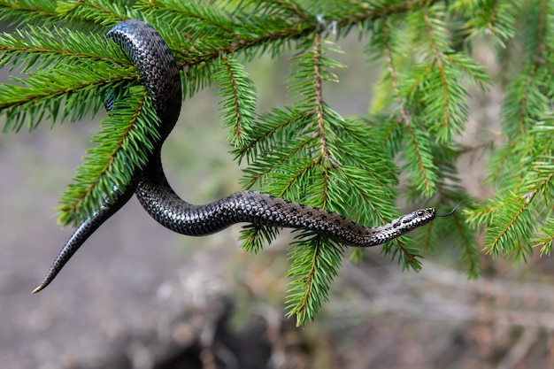 Jadowita żmija węża zbliżenie latem na gałęzi drzewa