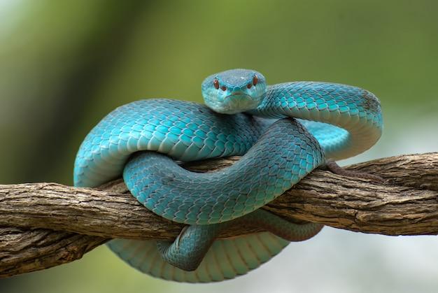 Jadowity wąż na gałęzi drzewa