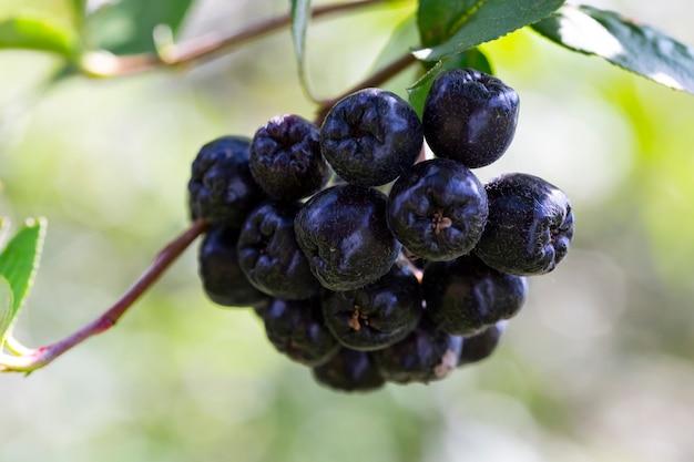 Jagody aronii. dojrzałe owoce na gałęziach krzewu aronii wrzesień