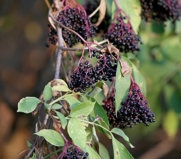 Jagody czarnego bzu są sfotografowane z bliska na krzaku. sambucus nigra