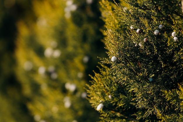 Jagody drzewa jałowca wśród zielonych gałęzi drzew iglastych