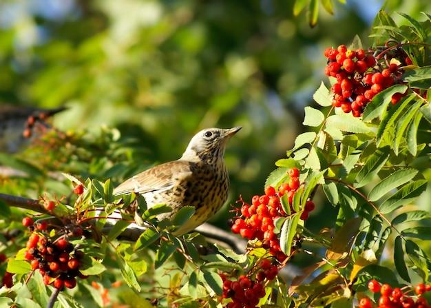 Jagody jarzębiny i ptaka
