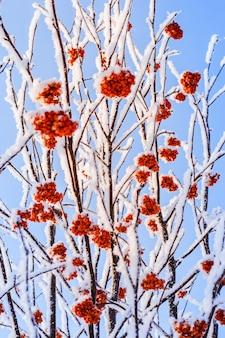 Jagody jarzębiny na śnieżnych gałęziach z nieba.