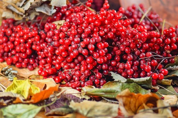 Jagody kalina z liści jesienią