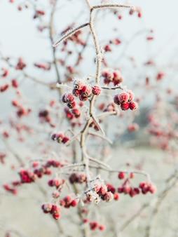 Jagody różowego pieprzu pokryte śniegiem
