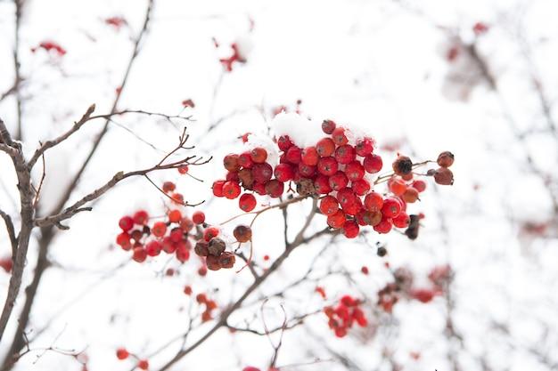 Jagody sezonowe. oddział jagód jarzębiny boże narodzenie. pęczek jagód głogu. jarzębina w śniegu. jagody czerwonego popiołu w śniegu. zimowe tło. oszronione czerwone jagody. mrożonki. kontrola klimatu.