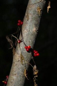 Jagody tamaro bryony czarne tamus communis piękne i trujące.