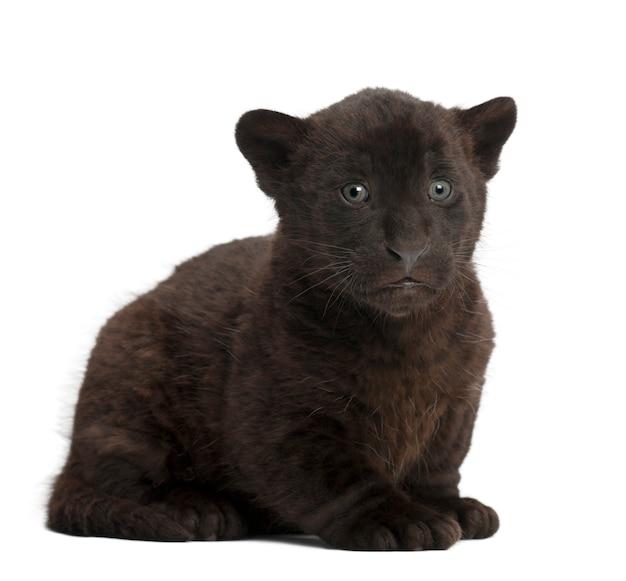 Jaguar, 2 miesiące, panthera onca, siedzi