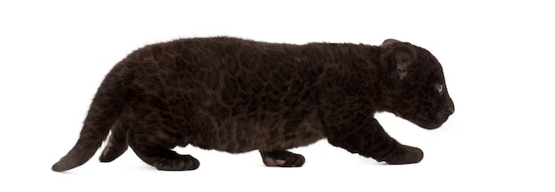 Jaguar, 2 miesiące, panthera onca, spacery
