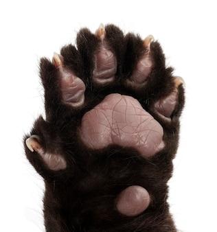 Jaguar, 2 miesiące, panthera onca, zbliżenie