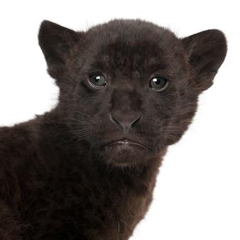 Jaguar, 2 miesiące, panthera onca,