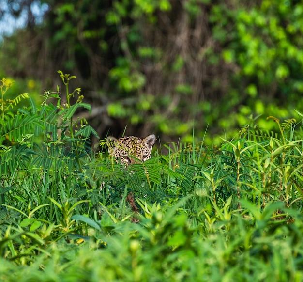 Jaguar chowa się w trawie.