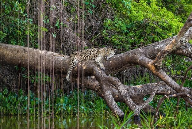 Jaguar leży na malowniczym drzewie nad wodą w środku dżungli.