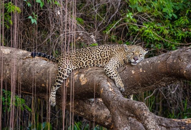 Jaguar leży na malowniczym drzewie w środku dżungli.