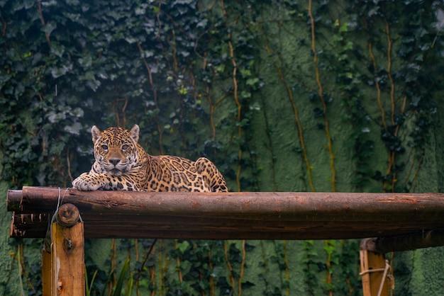Jaguar odpoczywa w trawie. dzikie zwierze.