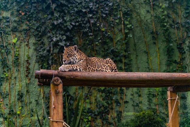 Jaguar odpoczywa w trawie, naturze, dzikich zwierzętach.