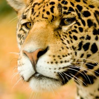 Jaguar - panthera onca przed pomarańczowym tłem