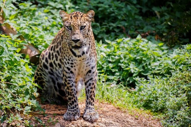 Jaguar tygrysa poważny wzrok.