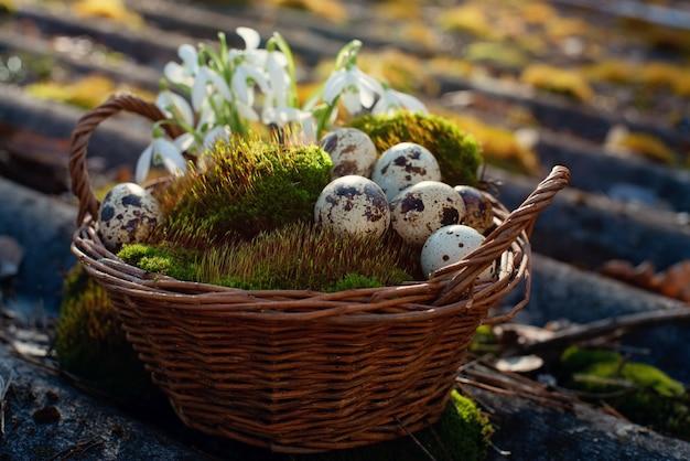 Jaja przepiórcze w koszu na naturalnym zielonym mchu z kwiatami przebiśniegów.