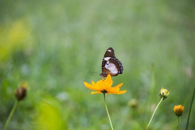 Jajeczny motyl na kwiacie w jego naturalnym środowisku