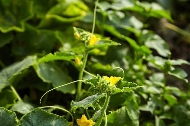 Jajnik ogórka, hodowla kwiatów korniszona żółtego, uprawa warzyw