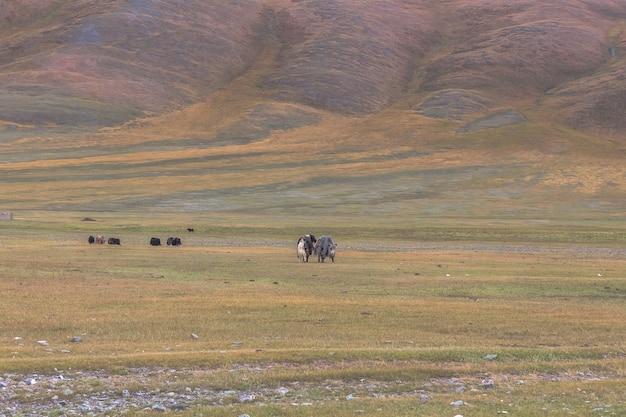 Jak stado na stepach górzystej mongolii. ałtaj