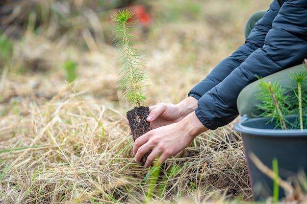 Jako ochotnik młody człowiek sadzi młode drzewa, aby przywrócić las