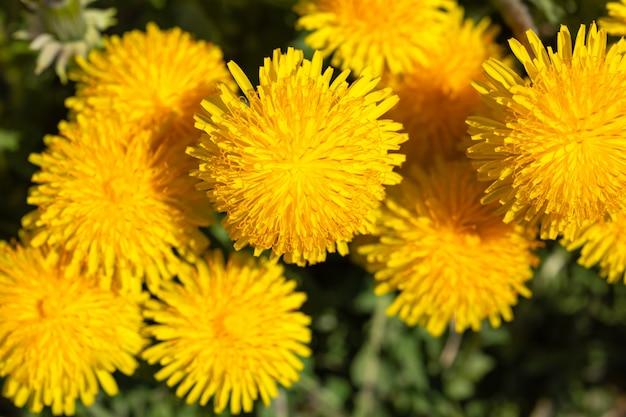 Jako tło kwitnie dandelion wiosna. jasnożółte sezonowe kwiaty do dekoracji kart okolicznościowych, kalendarza, książek.
