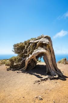 Jałowiec ugięty przez wiatr na el hierro na wyspach kanaryjskich