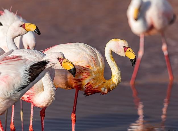 James flamingoes jedzą i odpoczywają w laguna colorada. altiplano. boliwia. ameryka południowa