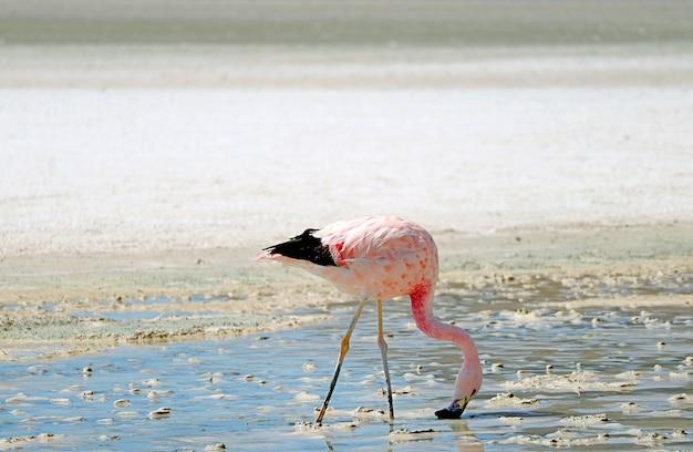 James's flamingo grazing w laguna hedionda, jezioro saline on andean altiplano, boliwia
