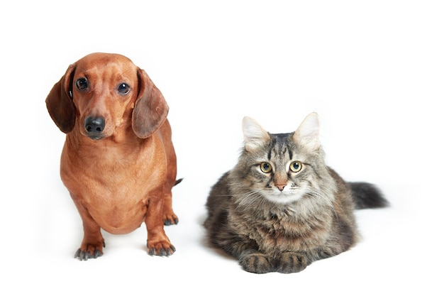 Jamnik i kot maine coon na białej powierzchni na białym tle, orientacja pozioma