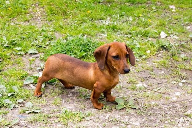 Jamnik, pies wiener lub kiełbasa na podwórku