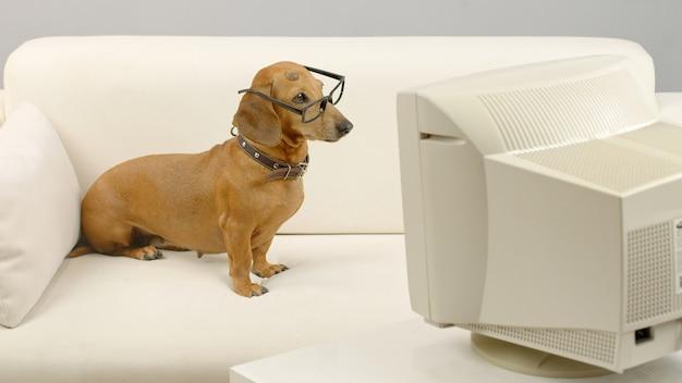 Jamnik w okularach siedzący na kanapie przed starym komputerem zwierzę patrzące na ekran komputera