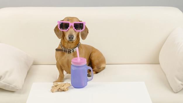 Jamnik w różowych okularach przeciwsłonecznych siedzi na kanapie z butelką wody zwierzak na kanapie w domu